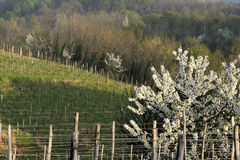 Cherry tree and collio vineyards Stock Photos