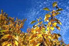 Cherry tree with colored leaves in autumn Royalty Free Stock Image