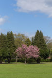Cherry Tree. Colorful Spring Landscape with Green Lawn and a Blossoming Accolade Cherry Tree stock photography