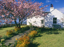 Cherry tree cottage, Crinan, Scotland. This fairytale cottage is transformed in spring by a flowering cherry tree,s blossom. It is the old lock keepers residence Royalty Free Stock Photos