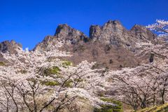Cherry tree and Crag Mountain Royalty Free Stock Image