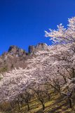 Cherry tree and Crag Mountain Royalty Free Stock Photos