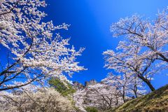Cherry tree and Crag Mountain Royalty Free Stock Photos