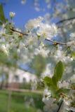Cherry-tree de florescência foto de stock