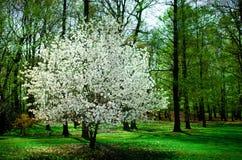 Cherry Tree in een park stock fotografie