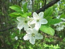 Cherry Tree en la floración imágenes de archivo libres de regalías