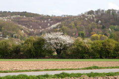 Cherry tree in a field Royalty Free Stock Photos