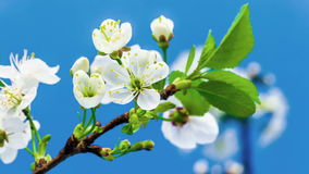 Cherry Tree Flower Blossoming Timelapse amargo metrajes