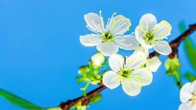 Cherry Tree Flower Blossoming Timelapse amargo almacen de metraje de vídeo