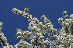 Cherry tree flower on blue sky Stock Image
