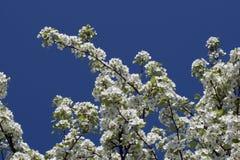 Cherry tree flower on blue sky Stock Image