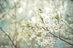 Cherry-tree  flower branch and blue sky beautiful natural backgr Stock Images