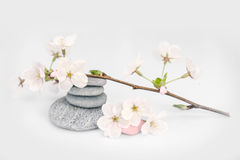 Cherry tree flower branch and pebbles Royalty Free Stock Photography