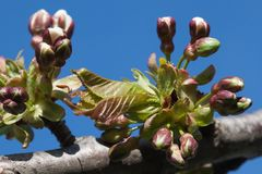 Cherry Tree Flower Buds imagem de stock royalty free