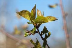 Cherry Tree Flower Buds fotografia de stock