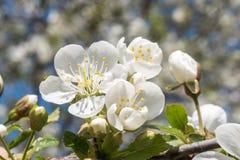 Cherry tree flower close up stock photo