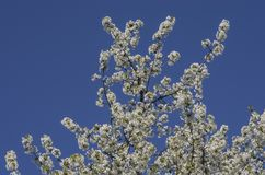 Cherry tree flower Stock Image