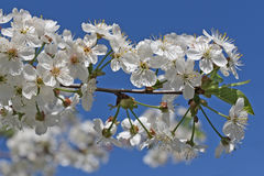 Cherry tree flower and sky Stock Photo