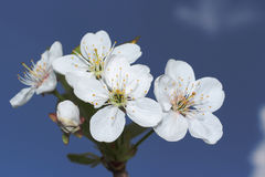 Cherry tree flower and sky Royalty Free Stock Photography