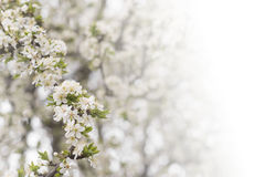 Cherry tree flower in spring Stock Photos