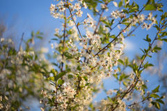 Cherry tree flowering in spring. Abstract background with blue sky Royalty Free Stock Photos