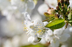 Cherry tree flowering royalty free stock images