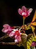 Cherry Tree Flowers Fotografia Stock Libera da Diritti