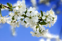 Cherry tree flowers. Stock Photography