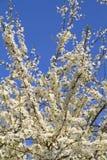 Cherry Tree Flowers Stock Photos