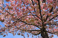Cherry tree in flowers Royalty Free Stock Image