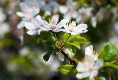 Cherry tree in flowers Royalty Free Stock Photography