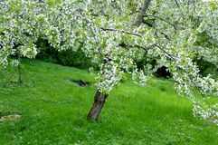 Cherry tree with flowers Stock Images