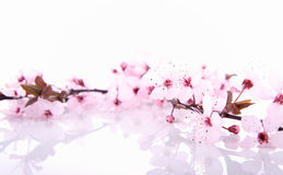 Cherry tree flowers Royalty Free Stock Photos