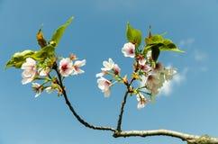 Cherry Tree Flowers Fotografie Stock Libere da Diritti
