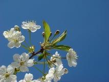 Cherry tree flowers. On sky background Royalty Free Stock Photos