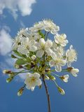 Cherry tree flowers. On sky background Royalty Free Stock Photography