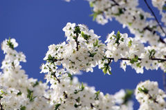 Cherry Tree flowers Royalty Free Stock Photography