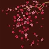 Cherry Tree Flowers Immagine Stock Libera da Diritti