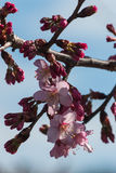 Cherry tree flowers against blue sky Stock Photo