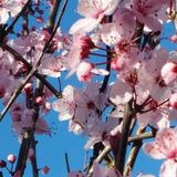 Cherry tree flowers Royalty Free Stock Photo