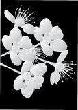 Cherry tree flowers on black Stock Photos