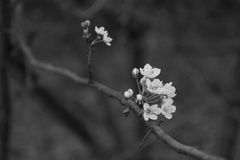 Black and white cherry tree flowers. Black and white foreground of cherry tree flowers detail of the white petals blurred background stock photos