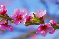 Cherry tree flowers in bloom. Against blue sky royalty free stock image
