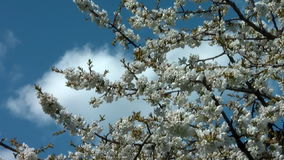 Cherry tree with flowers in bloom close-up Stock Photo
