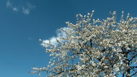 Cherry tree with flowers in bloom Stock Photography