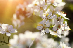 Free Cherry Tree Flowers Blooming In The Spring Stock Photos - 54681863
