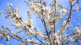 Cherry tree flowers blooming in spring. Time.Tree sway by wind against blue sky, closeup shoot stock footage
