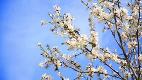 Cherry tree flowers blooming in springtime. Tree sway by wind against blue sky, closeup shoot stock video