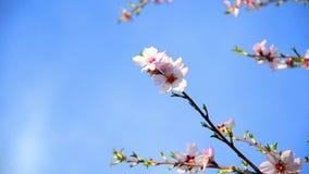 Cherry tree flowers blooming stock footage