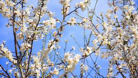 Cherry tree flowers blooming. In springtime.Tree sway by wind against blue sky, closeup shoot stock footage